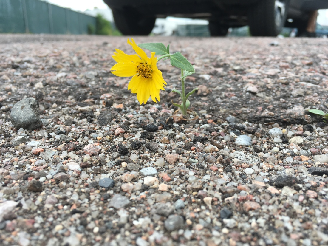A yellow flower grows out of the ground in a gravel parking lot.